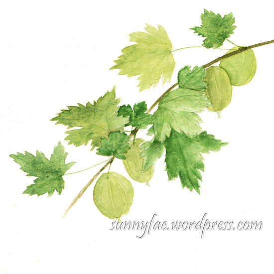 gooseberries watercolour sketch