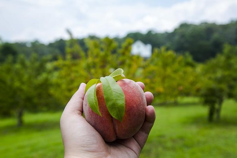 Georgia Peach Picking Tuyen Chau