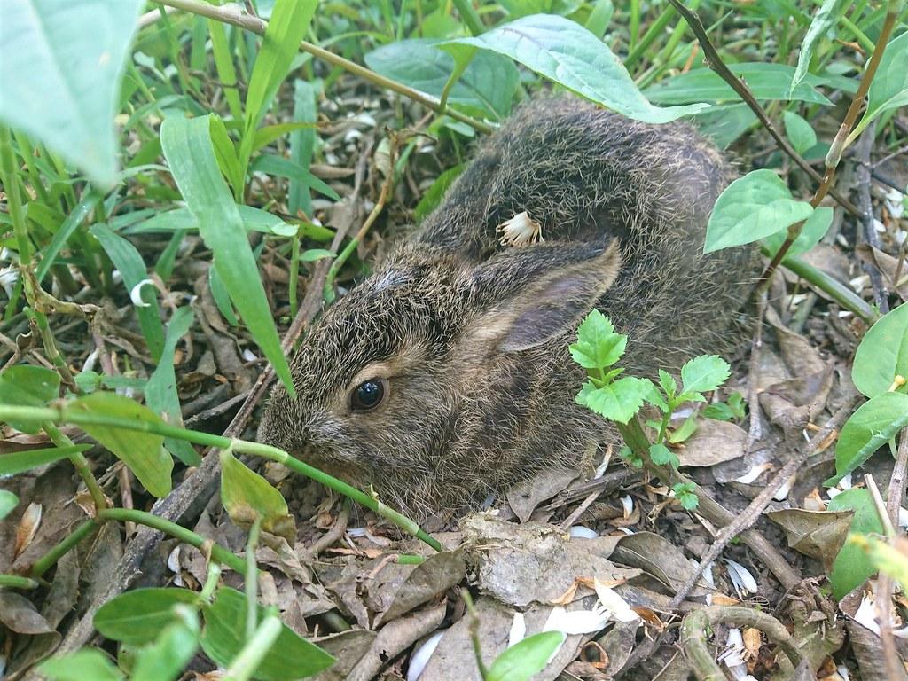 桶柑園與野兔