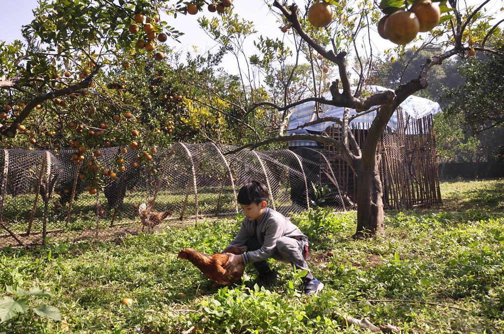 桶柑園與雞