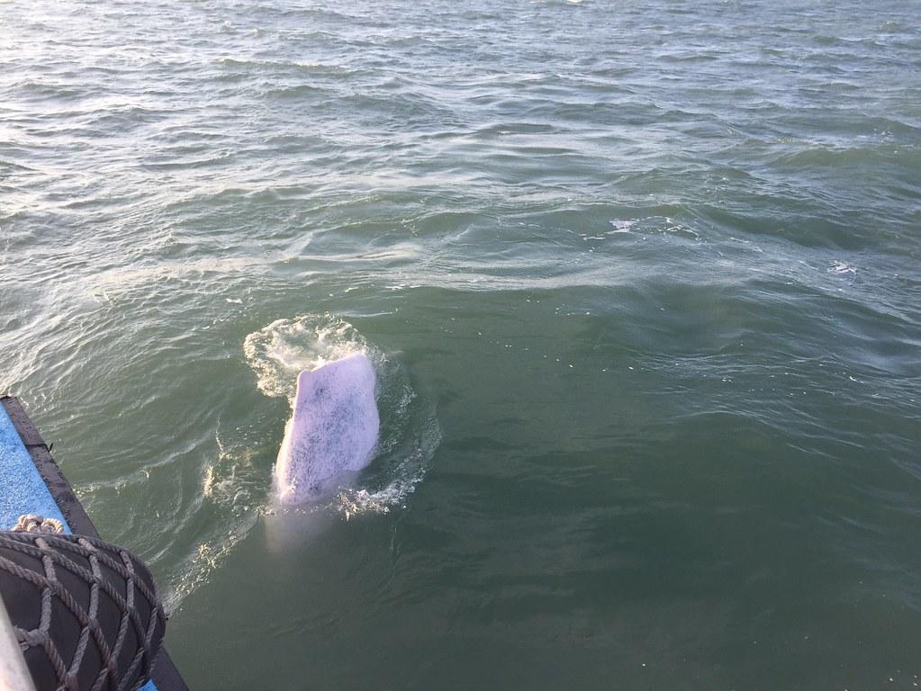 2018年布袋海巡隊在嘉義外海目擊台灣白海豚家族靠近船隻。圖片來源:海巡署提供。