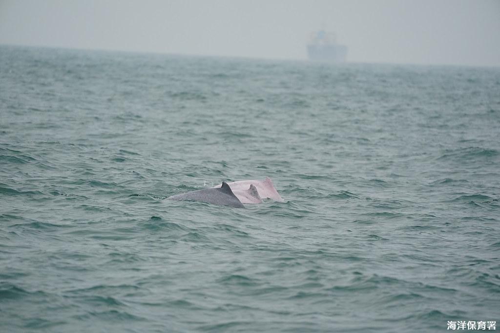 2019年第一季調查,海上監測目擊兩白一灰游走中之白海豚。圖片提供:海保署。