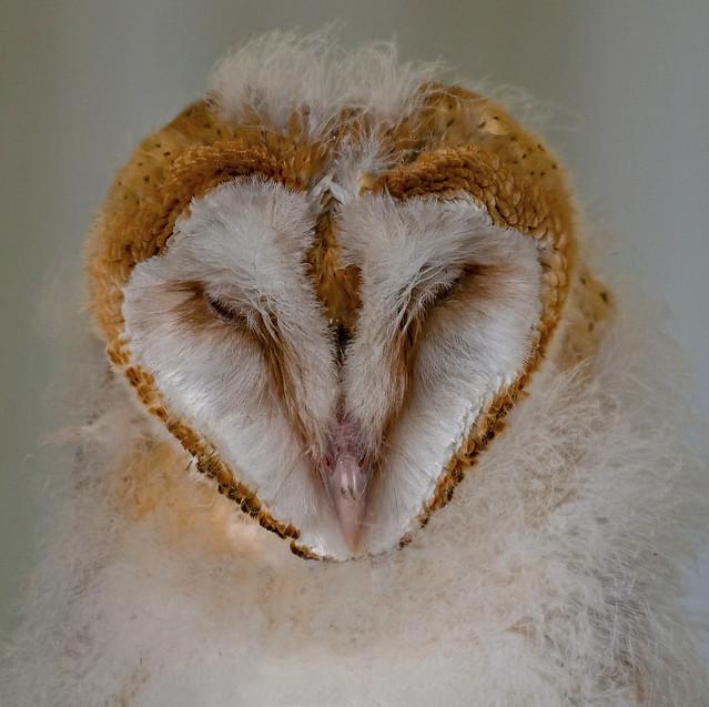 Fledgling Barn Owl in Slumber