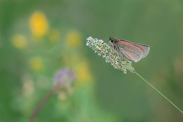 Vlinder Viroinval, Belgie