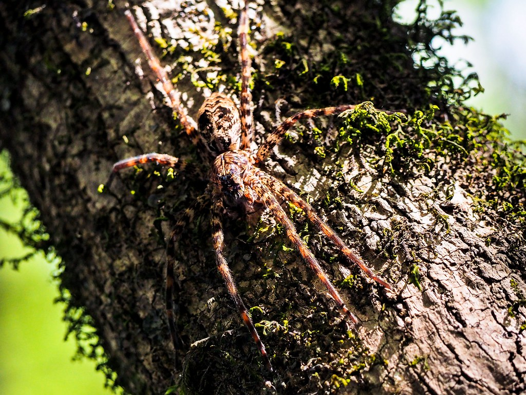 Spot The Fishing Spider Despite It S Size And Close Proxi Flickr