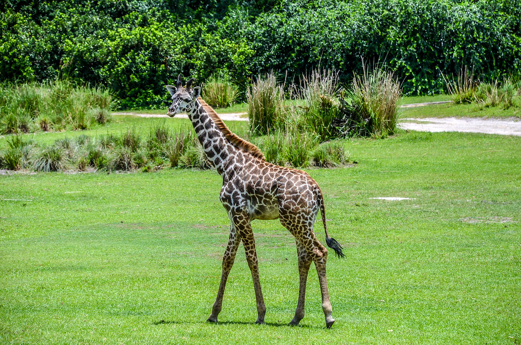 Small giraffe safari AK