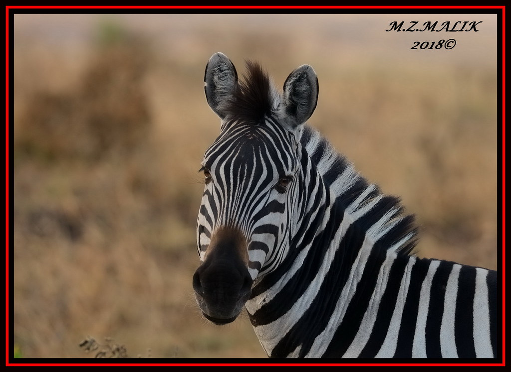 COMMON ZEBRA (Equus burchelli).....MASAI MARA......SEPT 2018