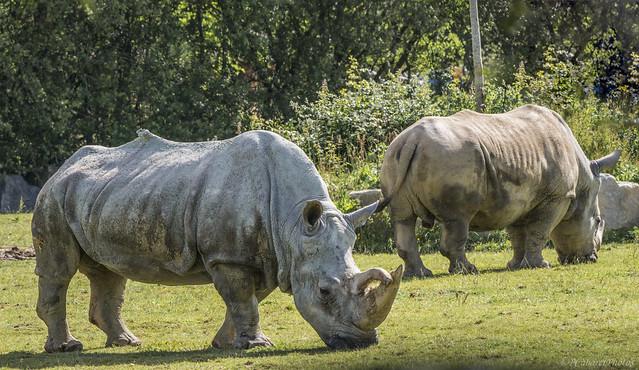 Rhinocéros [Explore 08-06-2019]