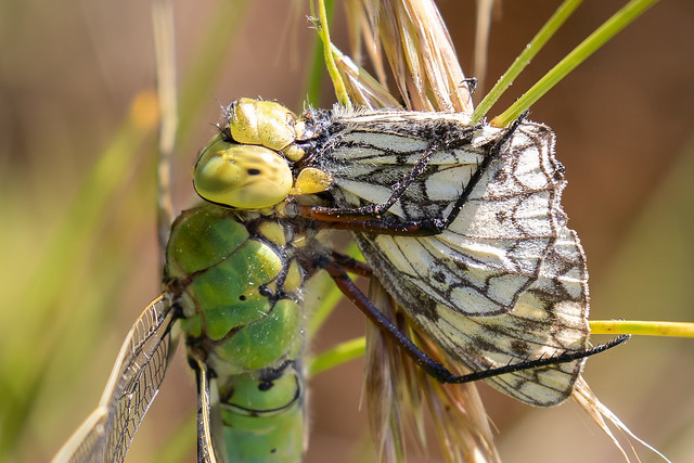 Emperor dragonfly f with marbled white