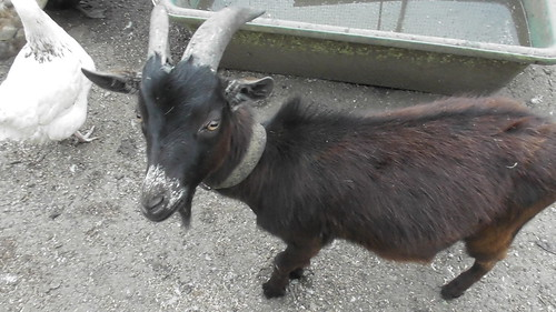 Georgie the goat recovered July 19