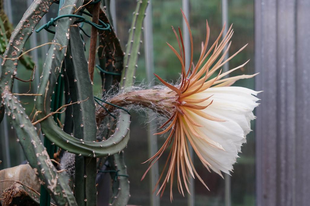 Königin der Nacht / night-blooming cereus / Selenicereus grandiflorus