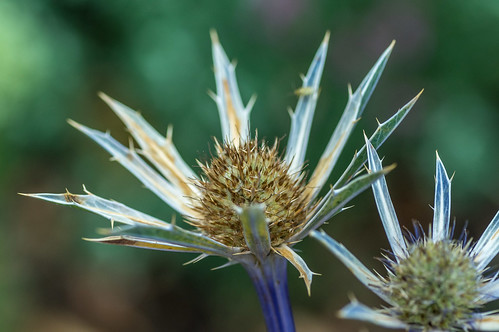 Blue thistle out of the blue