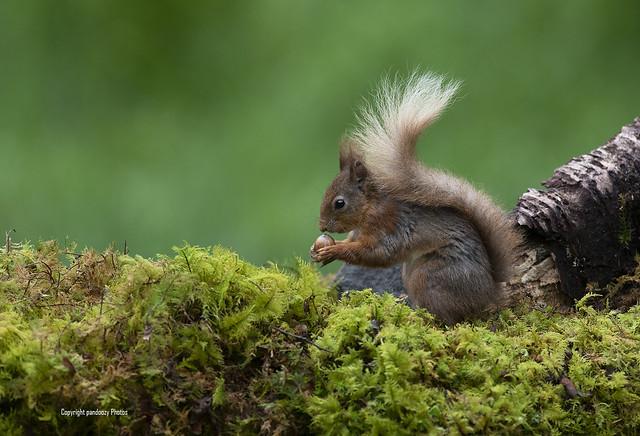 Red Squirrel-Sciurus vulgaris.