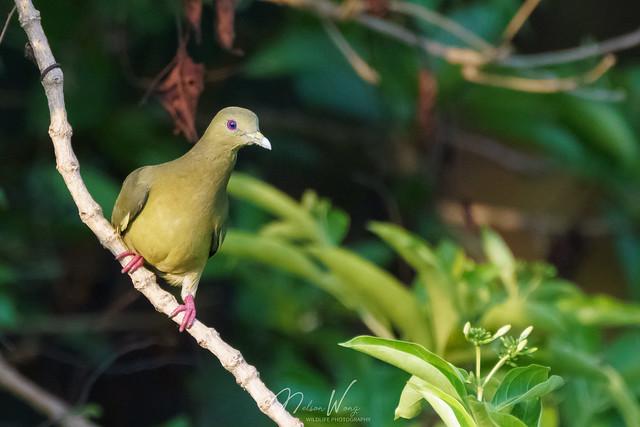 Pink-necked green pigeon (Treron vernans) 紅頸綠鳩