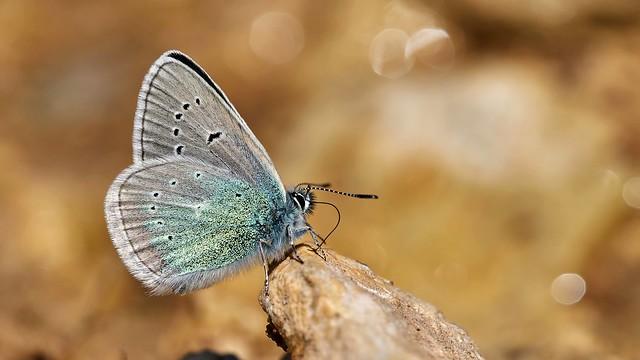 Polyommatus diana