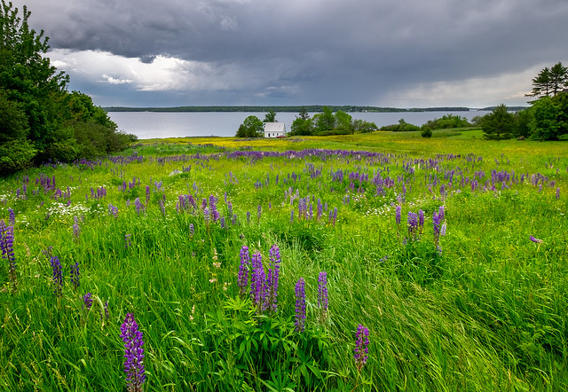 Lupine on the reach