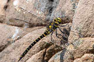 Golden-ringed Dragonfly | by AnnieMacD