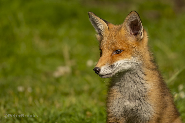 Red Fox Cub Portrait