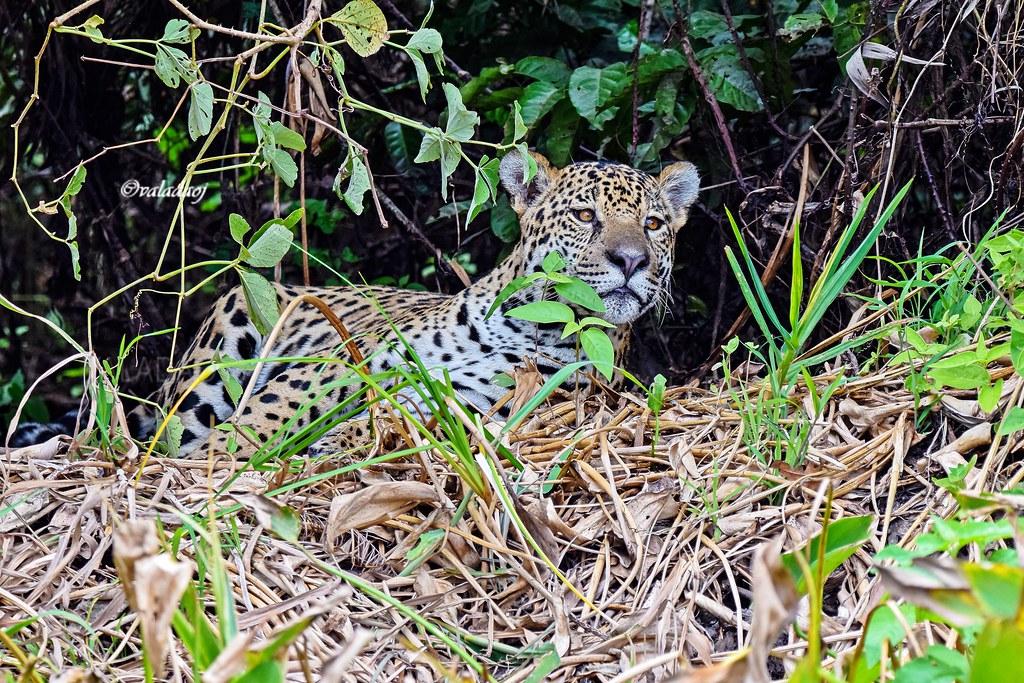 Onça-pintada - Panthera onca - Jaguar, Pantanal, Cáceres MT - Brasil