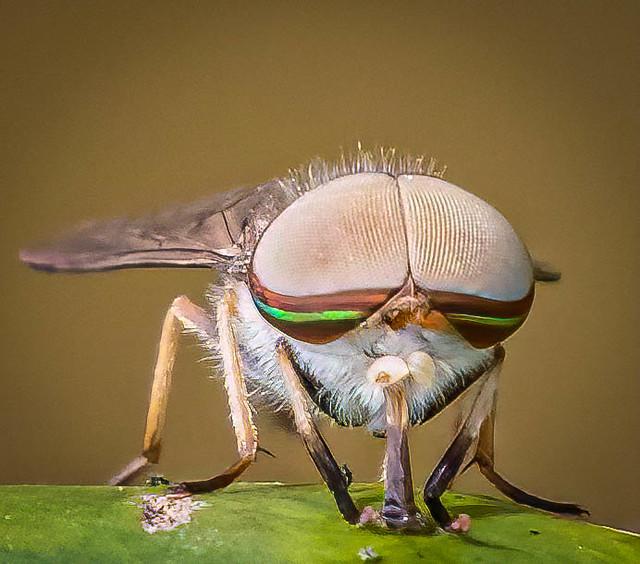 Striped Horsefly (Tabanus lineola), male