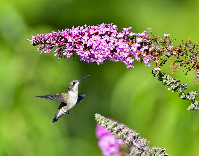 Hummingbird on butterfly bush on the Cumberland Plateau, Middle TN