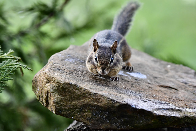 Rocky the Chipmunk from the Cumberland Plateau, TN