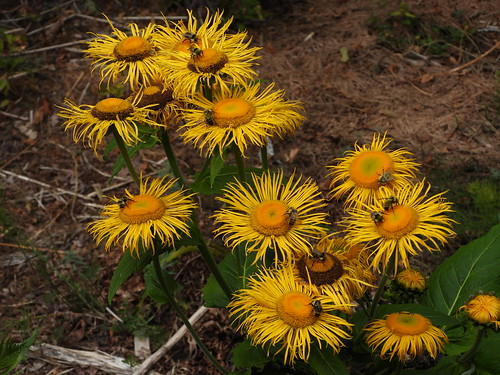 july 4 2019 16:31 - Bees on Inula | by boonibarb