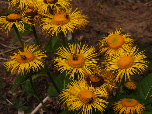 july 4 2019 16:32 - Bees on Inula | by boonibarb