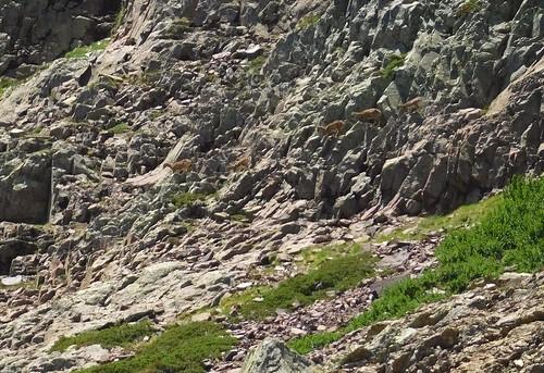 Dans la remontée du ravin de la Paglia Orba : des mouflons