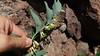 Dans la remontée du ravin de la Paglia Orba : exemple de végétation (Sceau de Salomon)