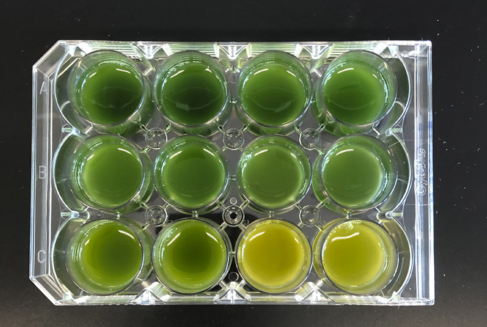 Biologists have cultured these algae, known as cyanobacteria, with different nutrients in different amounts, resulting in distinct color changes.