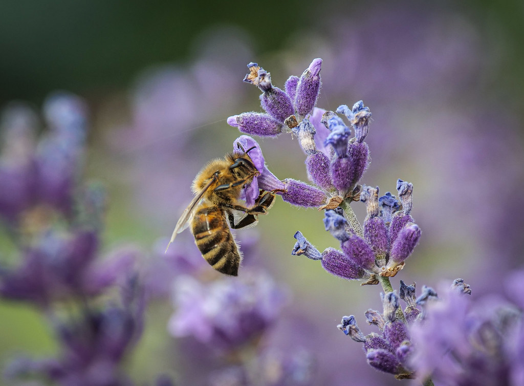 Honeybee in the lavender