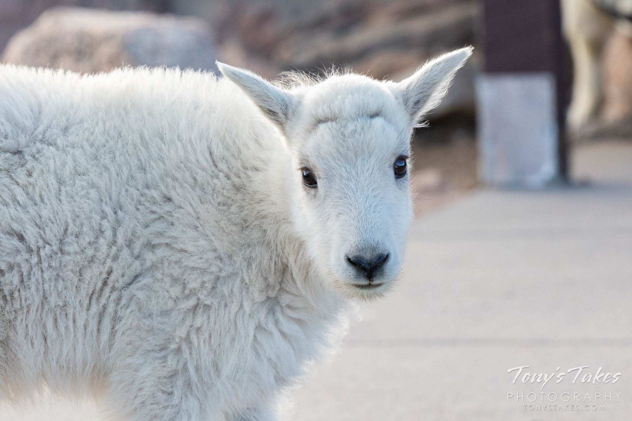 A mountain goat kid poses on Mount Evans. (© Tony's Takes)