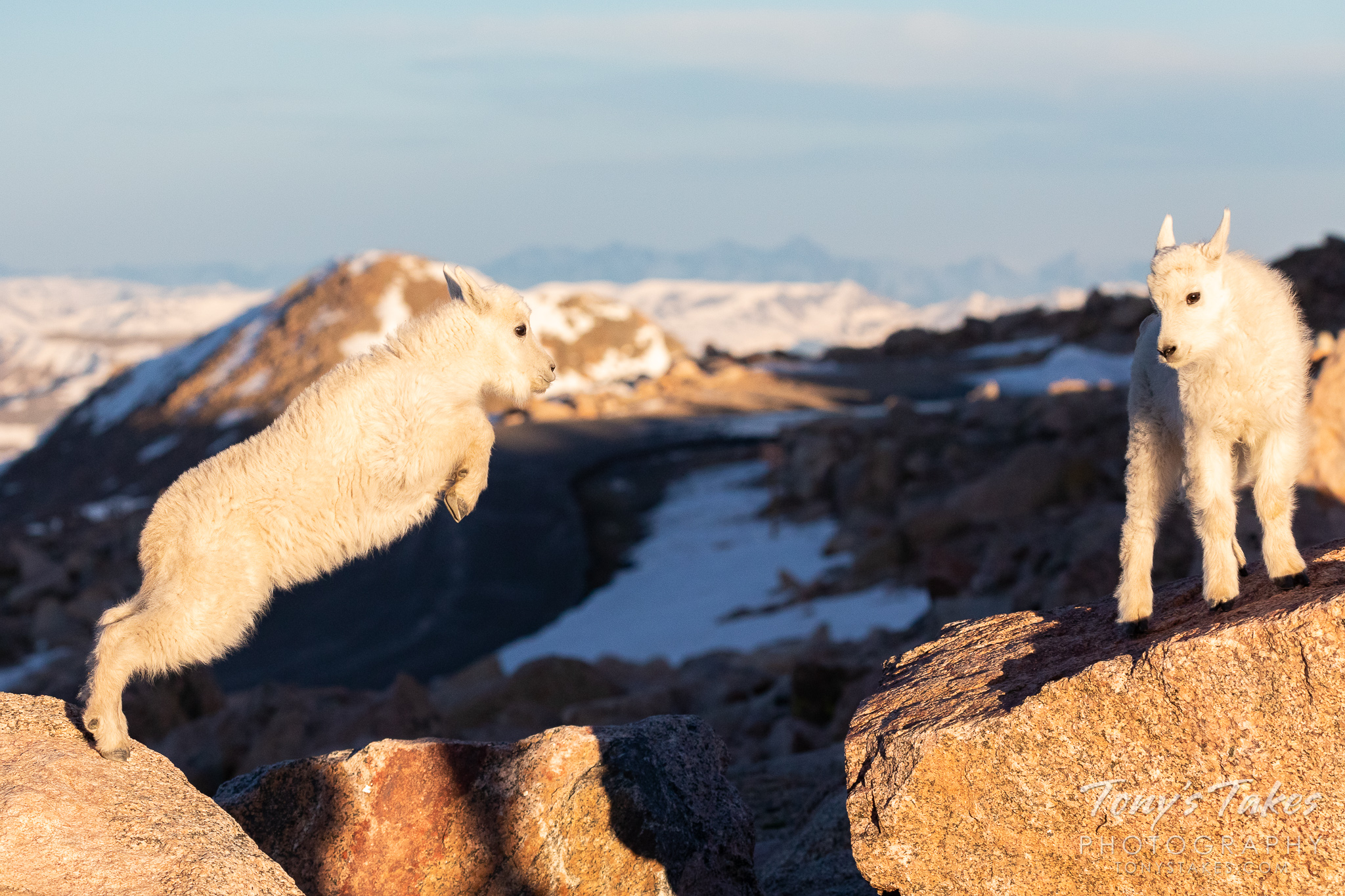 A mountain goat kid leaps from one boulder to another on Mount Evans. (© Tony's Takes)