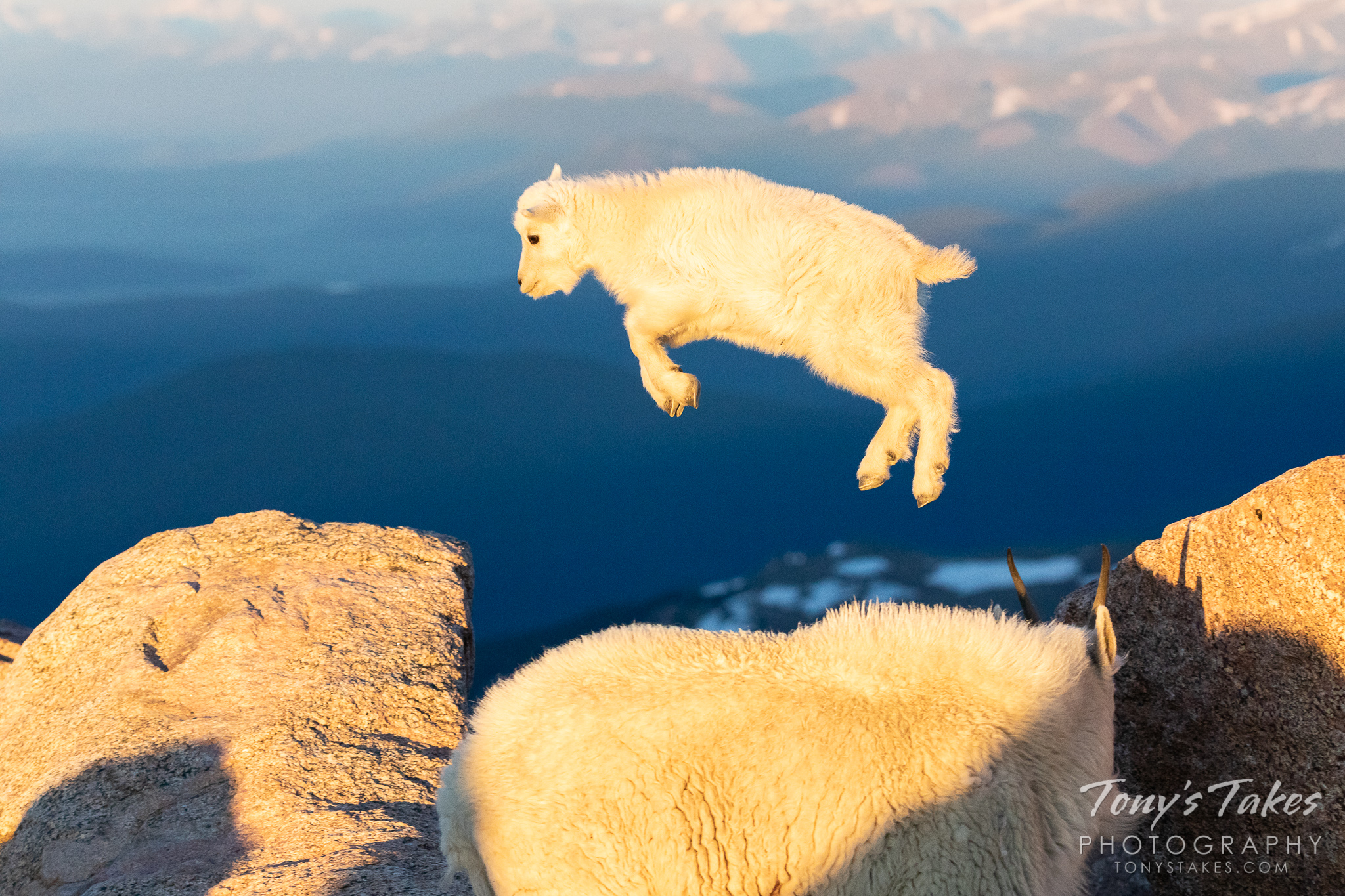 A mountain goat kid leaps from one rock to another near the top of Mount Evans in Colorado. (© Tony's Takes)