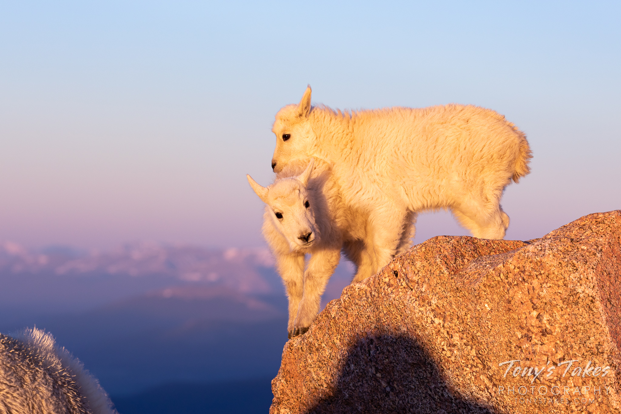 Mountain goat kids fight for the top of their rock on Mount Evans. (© Tony's Takes)