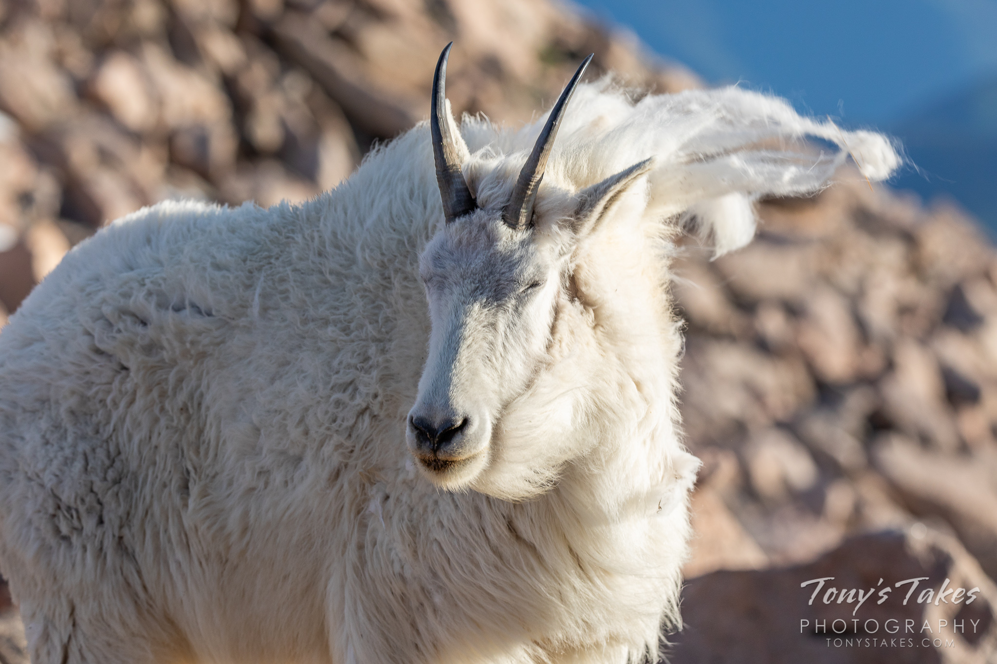 A mountain goat faces the wind on Mount Evans in Colorado. (© Tony's Takes)