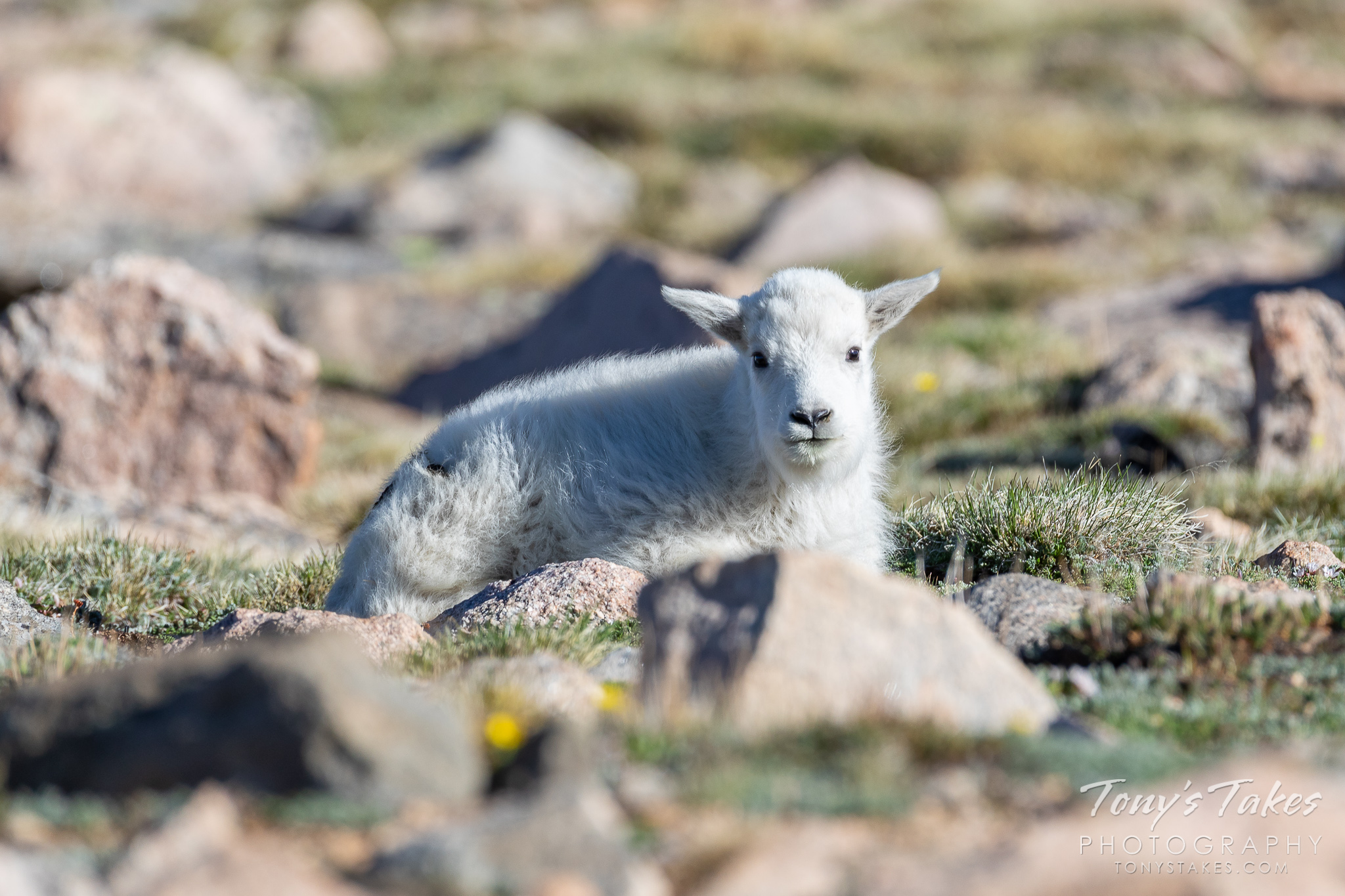 Mountain goat kid lounges on the alpine tundra