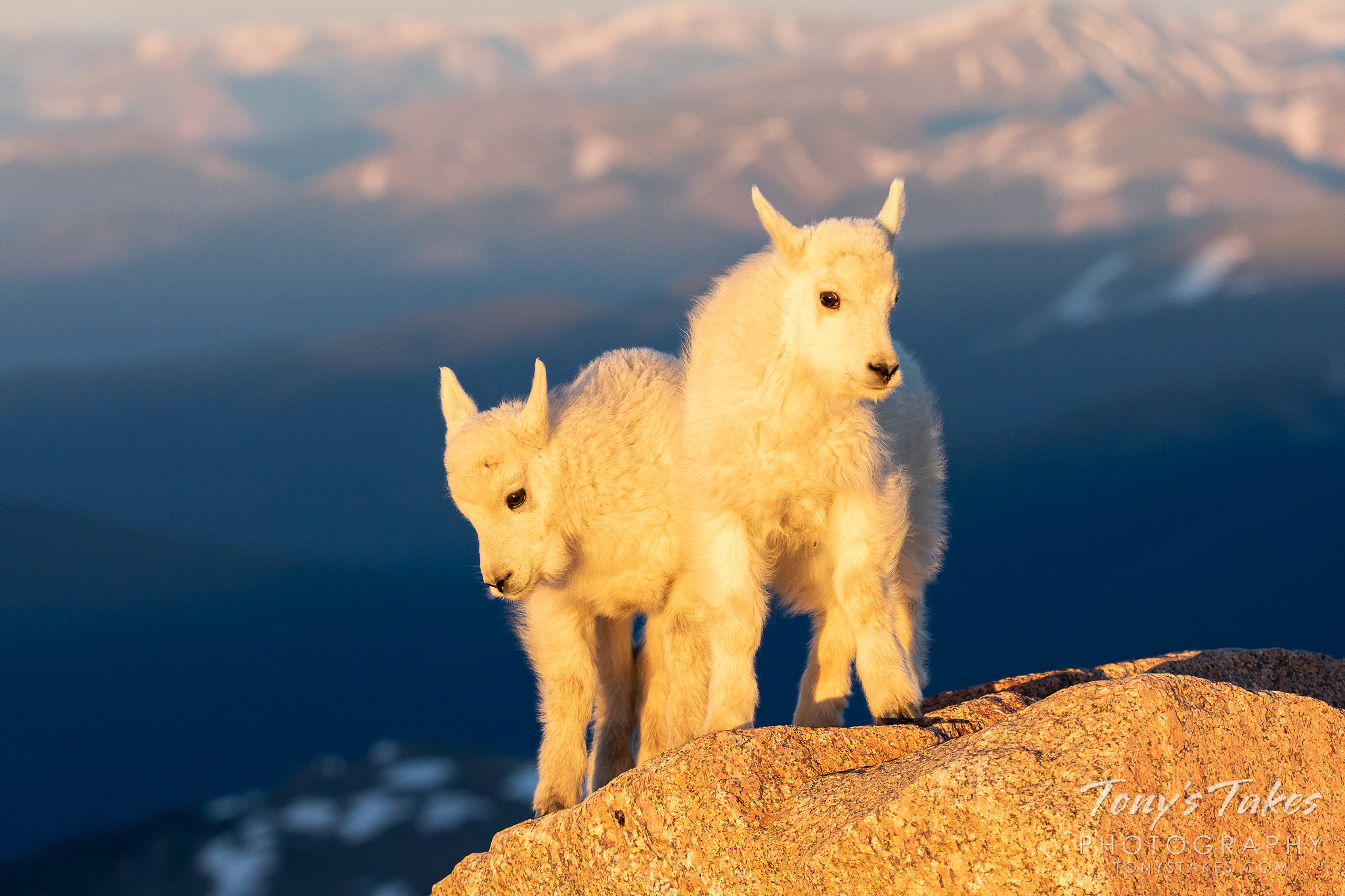Mountain goat kids stand on a rock, bathed in the early morning golden light. (© Tony's Takes)