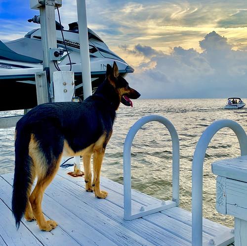 dogs florida germanshepherd animals pets nature sunset tampa beach tampabay apollobeach boating boats marine seaside ocean clouds horizon jet ski yamaha waverunner water