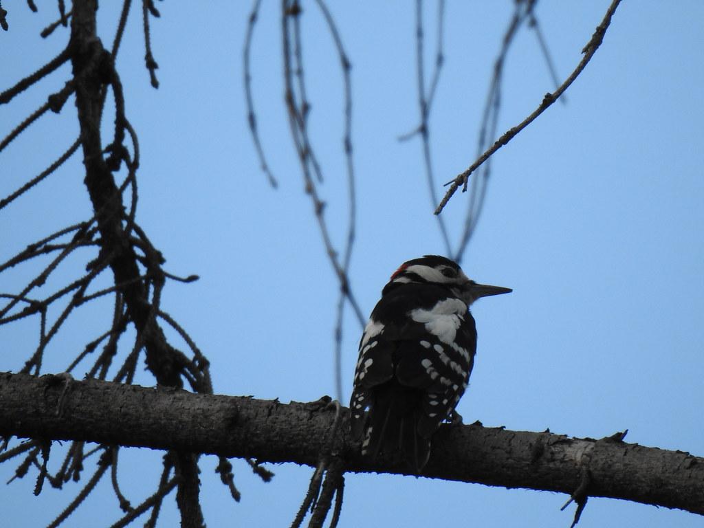 Great Spotted Woodpecker, Rači Potok, Košice, Slovakia, 8.7.2019