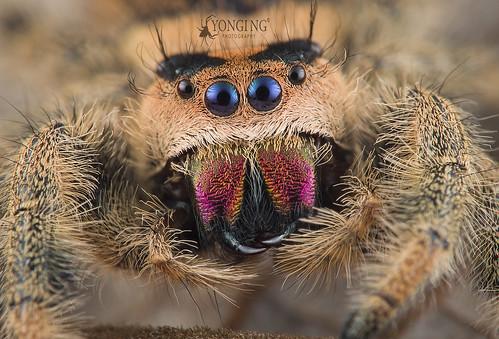 A Smiling Phidippus regius female