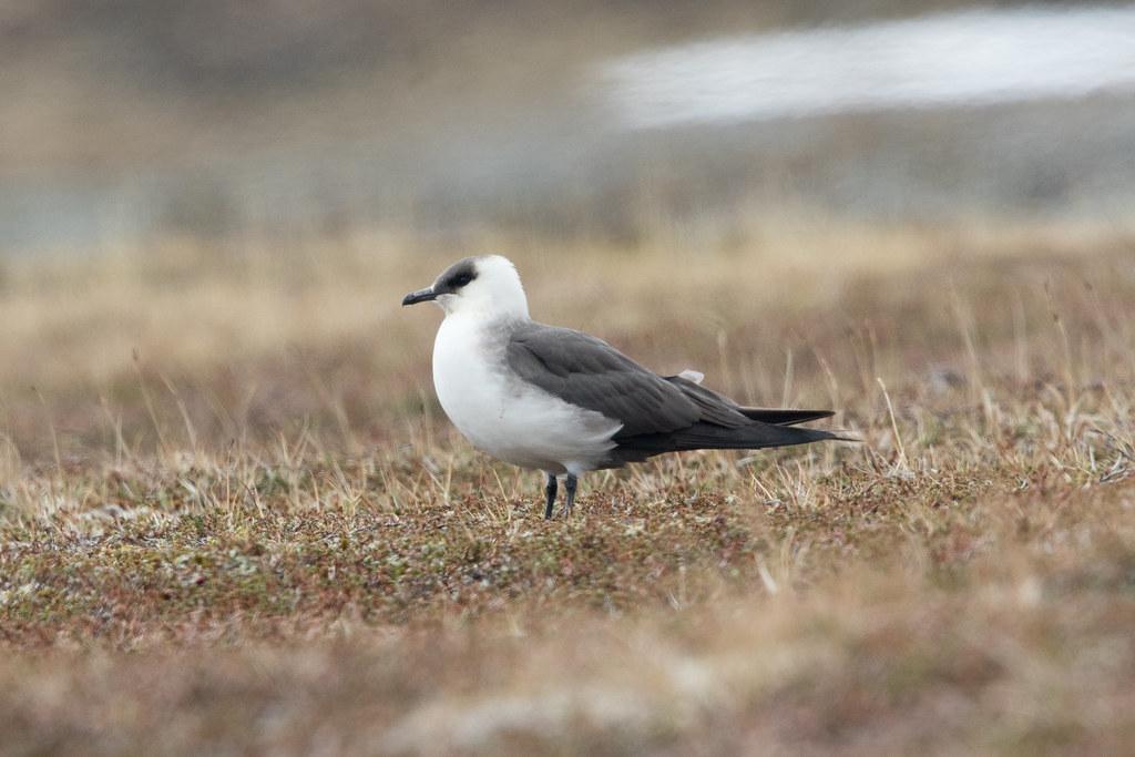 Arctic Skua at Barvikmyra S24A3229