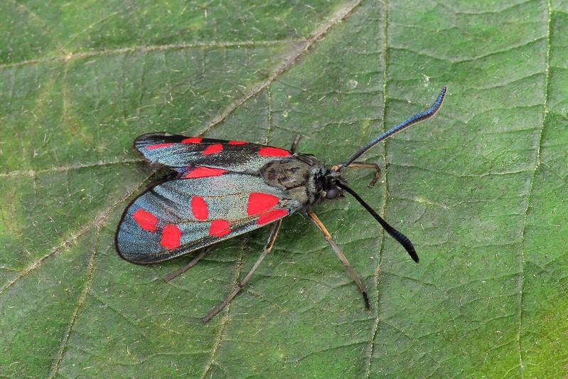 54.008 Six-Spot Burnet - Zygaena filipendulae