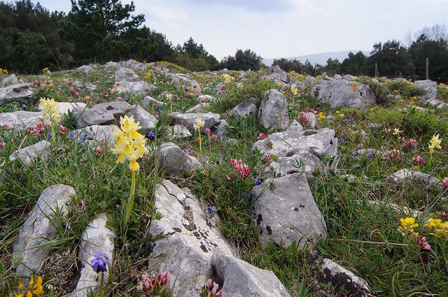 Orchis Pauciflora landscape