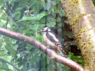 Gt-Spotted Woodpecker(juv) - Skipsea - 08-07-19