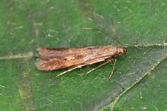 35.071 Buff-marked Neb - Monochroa lucidella
