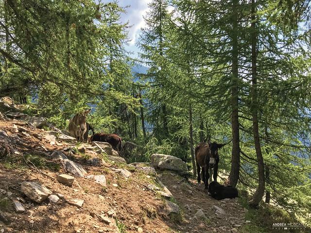 Alpe Dorca - Alta Val Bognanco (Italy)