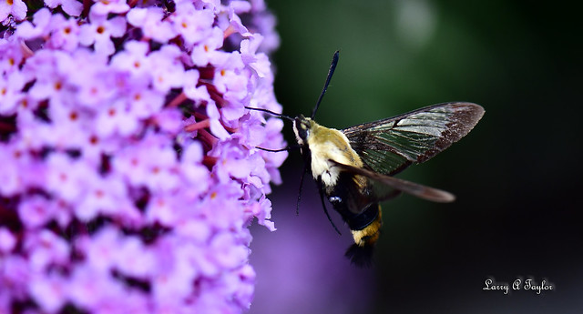 Hummingbird Moth on Butterfly Bush on the Tennessee Cumberland Plateau.