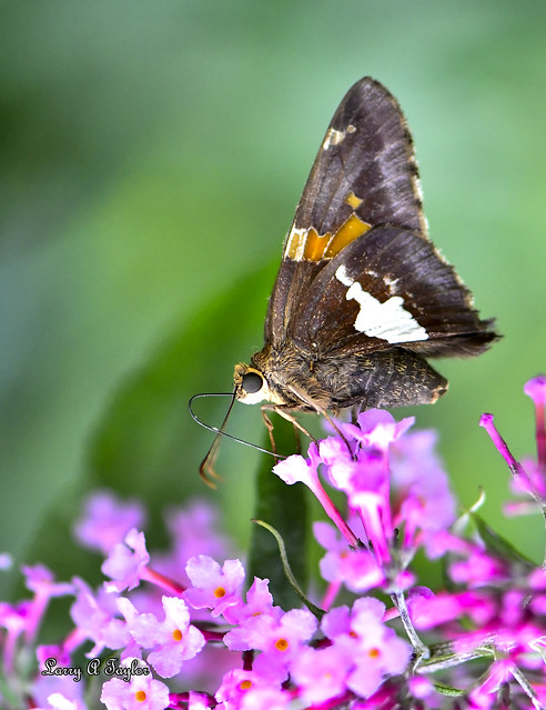 Silver-Spotted Skipper found on Tennessee's Cumberland Plateau.
